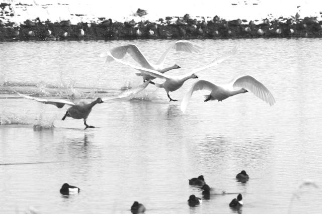 「富山市田尻池の白鳥」撮影=橘