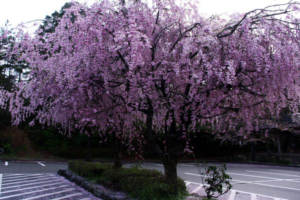 卯辰山相撲場Pのしだれ桜